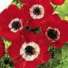 "RED ANEMONE ""Hollandia"""