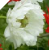 "WHITE DOUBLE ANEMONE ""Mount Everest"""
