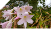 Crinum Lily~Powellii HUGE BULBS