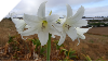 Crinum Lily~Powellii ALBA HUGE BULBS