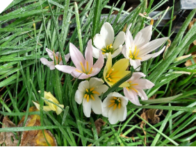 Zephyranthes Candida MIX (white, pink & yellow)