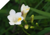 Freesia Alba small Bulbs (California Heirloom)