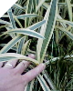 Variegated Hymenocallis