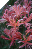 Lycoris Blushing Lady