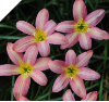 Zephyranthes Rose Perfection