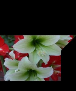 White Rain Lily Zephyranthes Candida