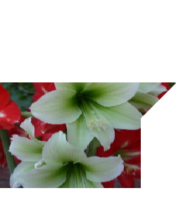 OUT OF STOCK AMARYLLIS