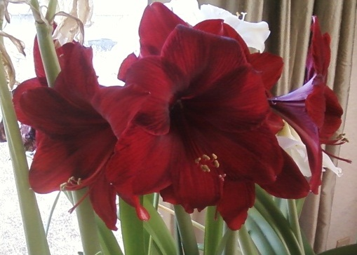 Amaryllis royal velvet for Amaryllis royal red arrosage
