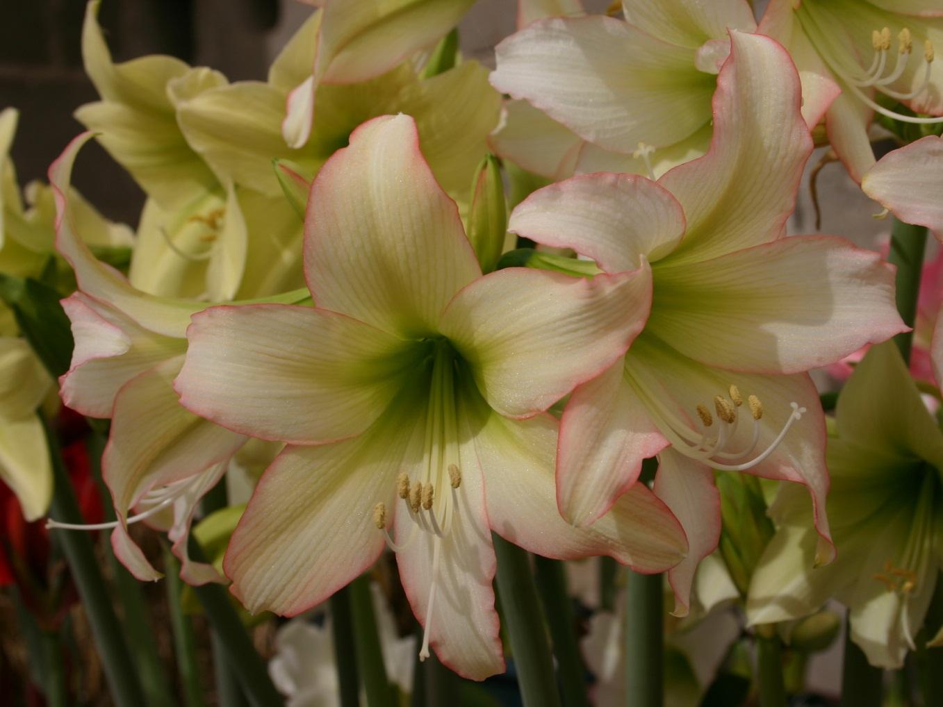 Amaryllis trentino for Culture amaryllis