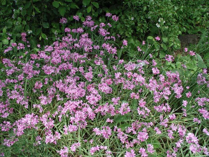 Resultado de imagen de allium plant unifolium