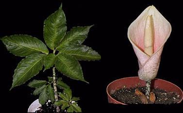 Amorphophallus Bulbifer VOODOO LILY